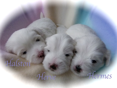 wsgiannixgiddypuppies3weeksoldl1040973
