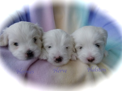 wspuppies4weeksoldgiannixgiddypuppies4weeksoldl1050251