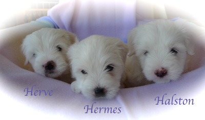 wspuppies5weeksoldgiannixfendipuppies5weeksoldl1080322