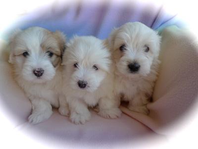 websitegiddyxouzopuppies6weeksold1b