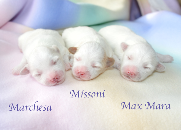wsgiorgioxgabbanapuppies1weekold-600x400dsc_4586