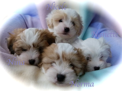 wsgiorgioxguccipuppies6weeksoldl1050038