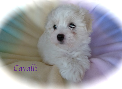 wscavalli08weeksoldl1040641