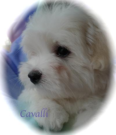 wscavalli12wksoldl1080342